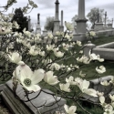 Ed Snyder - Early_dogwoods_laurelhillcemetery_Philadelphia._These_cross-shaped_flowers_are_believed_by_some_Christians_to_represent_