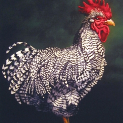 Eric Fausnacht: 11-plymouth-rock-cockerel-2006