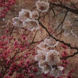 Lyn Godley: Among the Cherry Blossoms