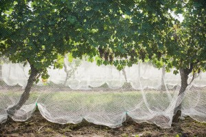 Veiled_Vines(1)